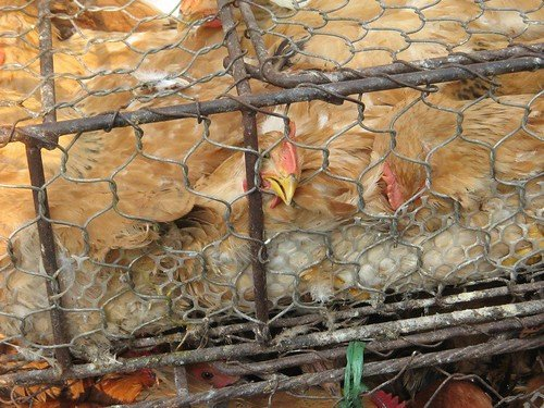 Image of chickens crowded into a pen