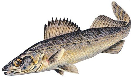 Image of Blue walleye Sander vitreus glaucus, an extinct species of the Great Lakes in North America