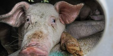 healthy pigs culled