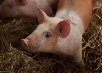 Photo of a piglet by Lauren McConachie on Unsplash