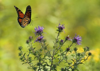 An image of a butterfly landing on thistles by Gary Bendig on Unsplash